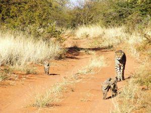 Cheetah, Gepard, Cub, Okonjima, AfriCat Foundation