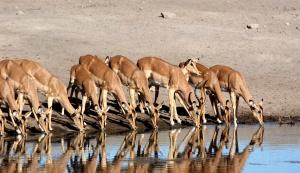 Etosha, Impala, Wasserstelle